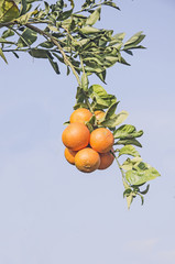 Ripe tangerines on tree