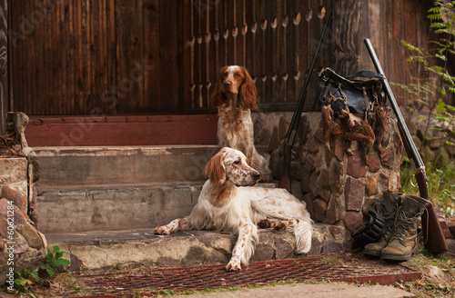 Gun dog near to shot-gun and trophies, horizontal, outdoors - 60621284