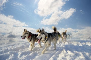 sled dog breed Siberian Husky
