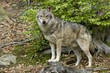 Wilk (Canis lupus)