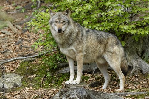 Papiers peints Loup Wolf (Canis lupus)
