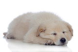 Nice dog with soft white hair sleeping