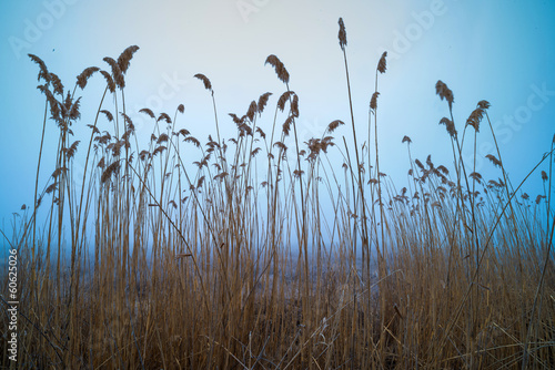 Bulrush on blue sky background