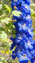 Blauer Rittersporn