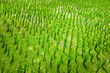 Detail of green rice field crop