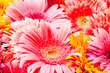 Chrysanthemum, flowers background