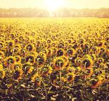 Fototapeta Sunflower