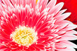 Background, close-up chrysanthemum