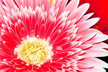 Background, close-up chrysanthemum