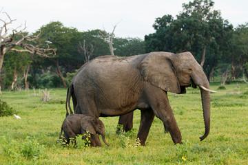 Elefantenmama geht mit Baby