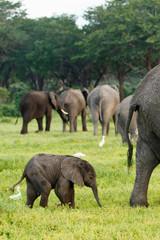 Elefantenbaby vor Herde
