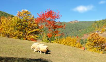 Sheep in a autumn landscape