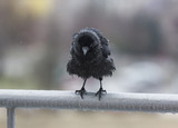 Miserable wet crow clutching balcony rail in the rain poster