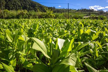 Curcuma field, La Réunion