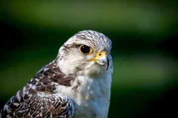 Portrait of the falcon