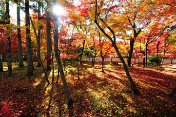 Japanese maple during autumn at Eikando Temple in Kyoto, Japan.