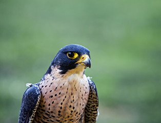 Portrait of the falcon