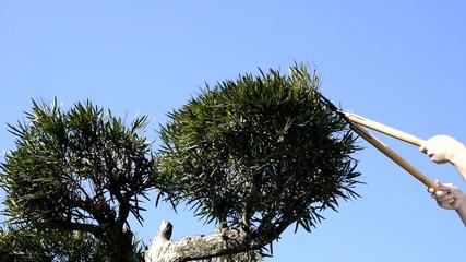 イヌマキの木の剪定