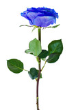 beautiful blue single rose