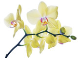 isolated fine lemon yellow orchids on branch