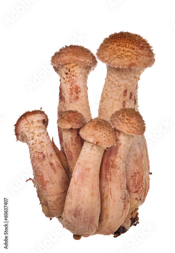 group of six young honey fungus on white