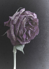 Grungy old dying purple rose