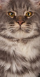 Maine coon close-up
