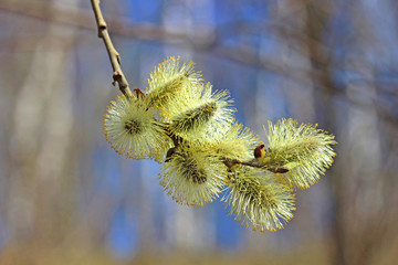 Branch of a blossoming willow in early spring