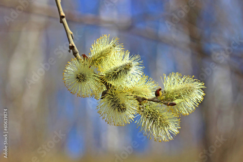canvas print picture Branch of a blossoming willow in early spring