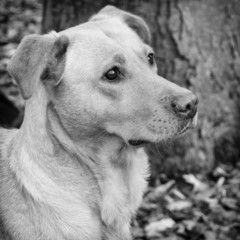 Golden Labrador black and white