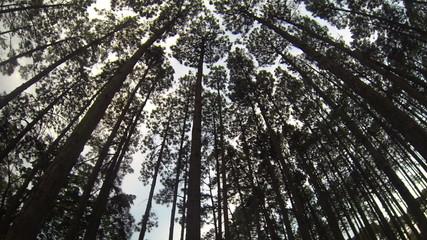 Pine Forest Loop