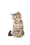 Kitten Scottish Straight meows poster