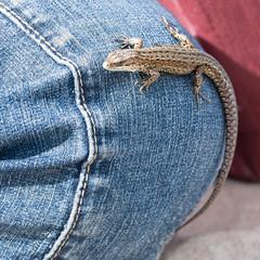 Lizard on blue jeans background