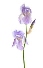 Light lilac flower isolated on a white background. Iris croatica