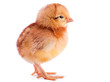 canvas print picture - Baby chicken isolated