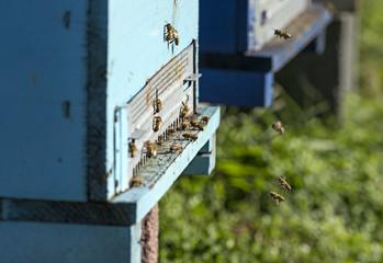 arnie in campagna api