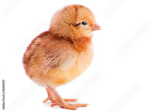canvas print picture Baby chicken isolated