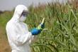 GMO,profesional in uniform examining corn cob on field