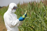 GMO,profesional in uniform examining corn cob on field