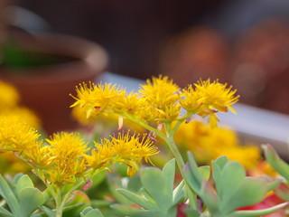 Flores amarillas de cactus