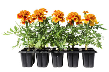 Tagetes flower seedlings in containers isolated on white backgro