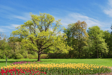 Oak and bed with tulips in spring park