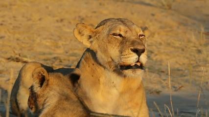 Snarling lioness showing her teeth, Kalahari desert