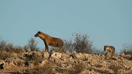 Spotted hyenas, Kalahari desert, South Africa