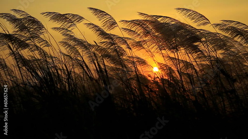 Grass flower field at sunset