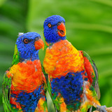 Brightly colored rainbow lorikeet