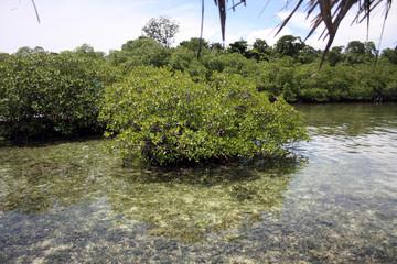 manglar caribeño