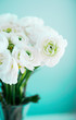White ranunculus on blue background