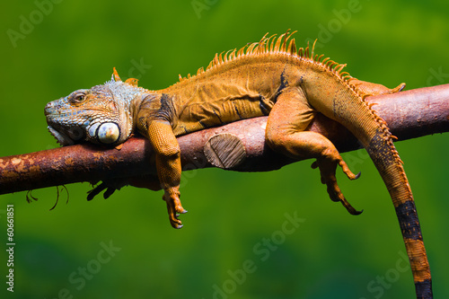 Iguana relaxing on a branch