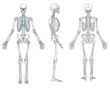 Human Skeleton Anatomy Vector - 60665269